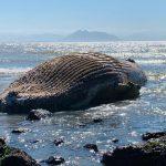 Golfinho, baleia e pinguins são encontrados mortos em praias de Búzios