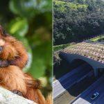 Mico-leão-dourado ganha 1º viaduto vegetado do Brasil, uma ponte para o futuro da espécie