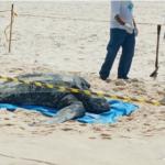 Tartaruga de 200 quilos é encontrada morta em praia de Maricá